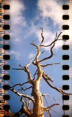 #07 - holga | 35mm | sprockets #1 (slimmer_jimmer) Tags: tree holga spooky ashridge c41 sprocketholes spookytree 35mminholga ashridgeforest