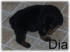 dia2 (muslovedogs) Tags: dogs puppy rottweiler teaara zeusoffspring
