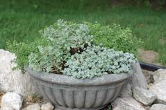 sedum - 06-11-05 (kizilod) Tags: plant grey gray container pot sedum capeblanco fluted sedumspathulifolium sedumalbum coralcarpet