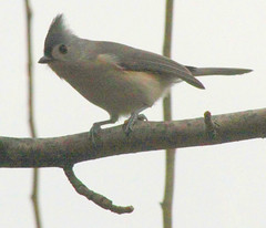 IMG_1667c Tufted Titmouse (JMalcolm) Tags: birds tuftedtitmouse