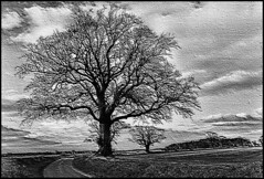 TREE NEAR LITTLE BARNINGHAM