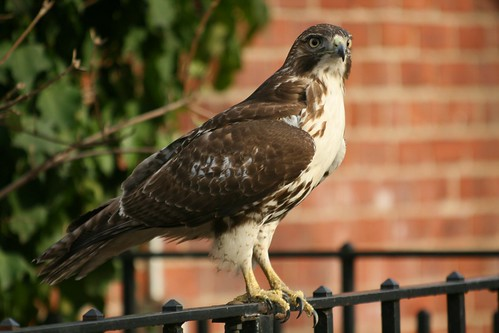 Red Tailed Hawk visits his park