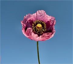 Poppy (Lara's  Stuff) Tags: flower poppy fleurtography