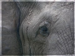 Elephant  - Savuti (hannes.steyn) Tags: africa nature animals lumix fz20 wildlife panasonic elephants botswana mammals reserves savuti hannessteyn