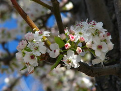 Flowering Tree - Spring is Here! (scrunchy17) Tags: california flower tree nature canon spring flora bokeh flor powershot sacramento hawthorne floweringplum naturesfinest floweringcherry fruitlesspeartree s5is canons5
