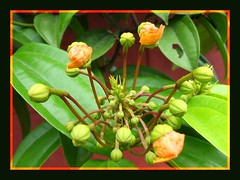 Cluster of flowering buds - Bauhinia kockiana