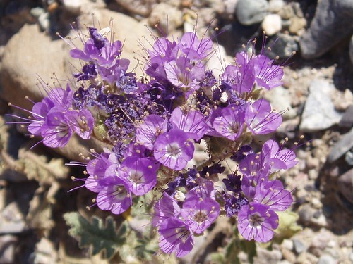 Death Valley Flowers 07