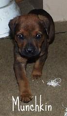 Munchkin (muslovedogs) Tags: dogs puppy mastweilers zeusoffspring myladyoffspring