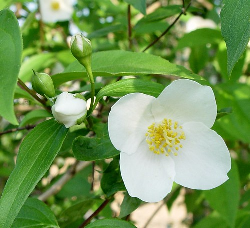 English Dogwood