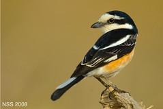 (N-S-S) Tags: bird birds nikon sigma best kuwait nikkor  800 nasser 800mm  nss    vwc        kvwc    alsolihem