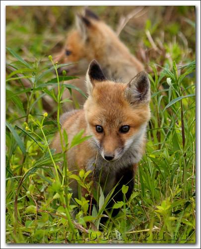 Fox Kits!