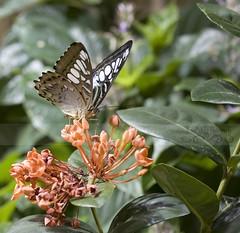 Butterfly Exhibit (Free2bJ.C.Photos) Tags: butterfly nationalmuseumofnaturalhistory rawformat canonefs60mmf28macrousm mywinners anawesomeshot megashot onlythebestare naturenolimits brillianteyejewel everydayissunday canonrebelxsi allimagesareprotectedundertheunitedstatesandinternationalcopyrightlawsandmaynotbedownloadedreproducedcopiedtransmittedormanipulatedwithoutwrittenpermission ifyoupostphotosinyourcommentsonmyphotospleasemakesuretheyaretheflickrsmallsizethanksifyoupostlargersizeireservetherighttodeleteyourcomment