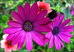 Brotherly Love ... (☜✿☞ Bo ☜✿☞) Tags: flower macro garden flickr explore haribo osteospermum flickrexplore heaintheavyhesmybrother thehollies theperfectphotographer canong9 mupic