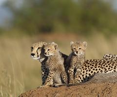 18. Shakira (Lyndon Firman) Tags: kenya bbc cheetah cubs shakira masaimara acinonyxjubatus bigcatlive