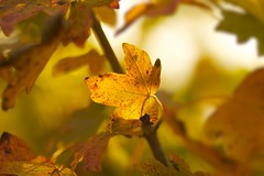 Leaf (Future-Echoes) Tags: 4star 135mm 2011 autumn bokeh depthoffield dof fall leaf light nature veins yellow