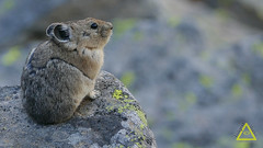 Pika Molt Look (jerefolgert) Tags: huckleberry pika ochotona princeps montana wyoming yellowstone cute fur feet close beautiful carry mouth lichen moss talus mountains summer molt looking curious