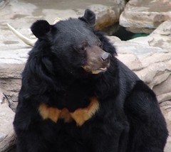 Asiatic Black Bear {Ursus thibetanus}