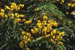 Copper Pod Tree - Peltophorum (Indianature sk) Tags: summer india tree nature garden bombay maharashtra mumbai victoriagardens caesalpiniaceae byculla peltophorum copperpod indianature peltophorumpterocarpum ranibagh snonymous jijabaibhonsleudyan