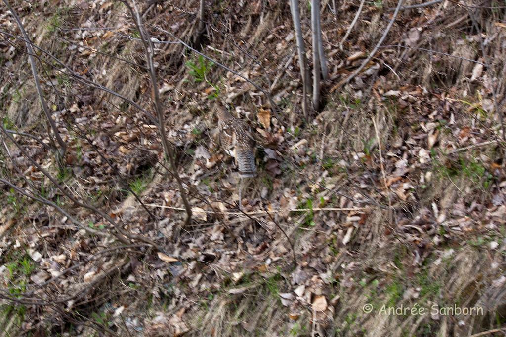 Ruffed Grouse-1.jpg