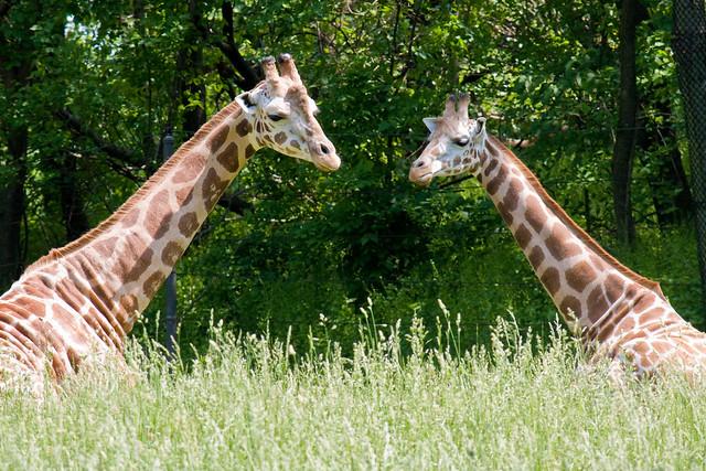 Giraffes, Bronx Zoo
