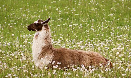 Llama {275/365}