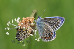 Bluetiful Butterfly (Chris*Bolton) Tags: blue ireland flower nature butterfly insect wings wicklow soe commonblue supershot topshots rathdrum bej animalkingdomelite anawesomeshot citrit macromarvels goldstaraward natureselegantshots bestcapturesaoi elitegalleryaoi