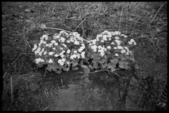 Marsh Marigolds (Voxphoto) Tags: blackandwhite bw trix annarbor westpark calthapalustris jazz207 aristapremium400 cobracrystal