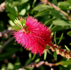 Callistemon blooming at the roundabout close to the marina (tijmenkroes) Tags: ilovenature spain soe naturesfinest blueribbonwinner puntadelmoral mywinners flowerwatcher naturewatcher colourartaward