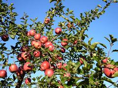 apple tree (migi328) Tags: apple japan aomori hirosaki