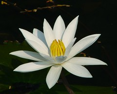 Water Lilly-1 ..My Favorite Flower (K. Shreesh) Tags: fab india flower lotus soe pune excellence naturesfinest sonydsch1 supershot flowerotica sarasbaug mywinners abigfave anawesomeshot diamondclassphotographer flickrdiamond macromix theperfectphotographer excellentsflowers