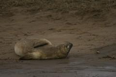 DN_C1 (83) (david_a_robin) Tags: lincolnshire seals donnanook