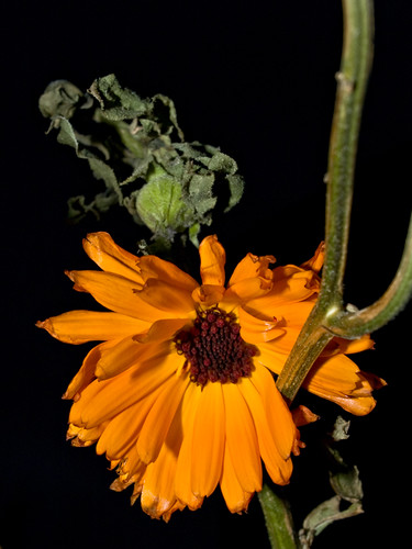 Picture of withered orange calendula flowers (pot marigold)