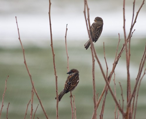 Mr. and Mrs. House Sparrow