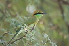 Little Green Bee Eater (NotMicroButSoft (Fallen in Love with Ghizar, GB)) Tags: pakistan nature birds fauna aves punjab chakri avianfauna adhwal