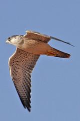 032054-IMG_4810 Grey Falcon (Falco hypoleucos) (ajmatthehiddenhouse) Tags: greyfalcon grayfalcon falcohypoleucos falco hypoleucos globalbirdtrekkers sa southaustralia bird 2007 australia avibase