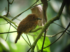 White-whiskered Puffbird 3 (mlretter) Tags: yuc nwecuador