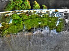 ice fern