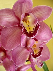Cymbidium Orchids in Natural Light (Scandblue) Tags: pink orchid flower macro closeup colorful dynamic unique brilliant fascinating cymbidium evocative scintillating flickrsbest masterphotos diamondclassphotographer