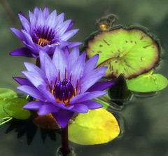 Water lilies (aussiegall) Tags: flower water petals pond bravo waterlily lilypad magicdonkey