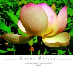 L o t u s (Kelvin Wong (Away)) Tags: pink greenleaves flower nature petals lotus australia adelaide southaustralia aplusphoto kelvinwong piscesromance adelaidecitybotanicgarden