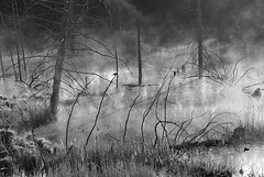 Three Blackbirds in the Morning (Peter Bowers) Tags: morning trees bw mist lake ontario canada nature water landscape photo nikon natural outdoor swamp marsh d200 naturalbeauty blackbird peterbowers nikond200 outdoorphotography peterbowersphotography