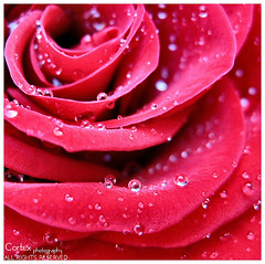 Crystal Tears (Cotex) Tags: pink macro rain rose droplets drops tears searchthebest crystal cortex masterclass 25faves golddragon abigfave macromix bestroseshot goldstaraward roseawards tefdahom