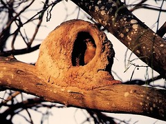 joo de barro (Edison Zanatto) Tags: brazil naturaleza bird southamerica nature birds braslia brasil fauna nikon natureza natur pssaro animales pssaros vogel pjaro nikonn90s americadosul sdamerika joodebarro centrooeste fujicolorprovalue200 filme35mm regiocentrooeste continentesulamericano animalesdebrasil edisonzanatto