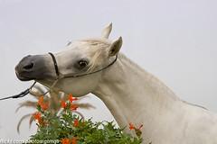 Arabian Horse (Mishari Al-Reshaid Photography) Tags: horse animals vw canon eos arabic arabian arabianhorse steed digitalrebel onwhite canoneos horsehead stallion whitehorse farmanimals q8 gtm galope whitestallion imagestabilizer vwc animalphoto q80 canonllens xti 400d ef24105 mishari canoneos400d digitalrebelxti canon400d canonef24105f4lis aplusphoto kuwaitphoto kuwaitphotos arabichorse kvwc photoofahorse horsephoto kuwaitartphoto gtmq8 kuwaitart kuwaitvoluntaryworkcenter kuwaitvwc grendizer99 horsesrule kuwaitphotography grendizer99photos horsephotography horsepicture misharialreshaid horsesinkuwait horseshot photosofhorses kuwaithorse malreshaid misharyalrasheed