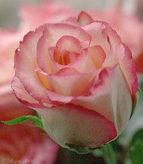 yet another rose!!!!!!!!!!!!!!!! (Roszita) Tags: pink fab flower macro rose closeup petals takeabow blueribbonwinner flickrsbest golddragon mywinners platinumphoto anawesomeshot superbmasterpiece diamondclassphotographer flickrdiamond citrit empyreanflowers excellentphotographerawards excellentphotographer scarletrose77 scarletrose77mountain thatsbostin theperfectphotographer goldstaraward fabulousflora