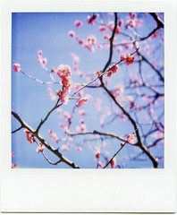 spring is here (masaaki miyara) Tags: pink japan polaroid design photo spring graphic blossoms plum february 2008 ume  japaneseplum  landcamera 2   plumgarden  redplum  argylestreettearoom masaakimiyara pickledsourplum