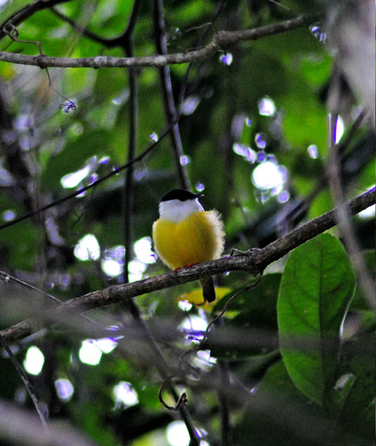 White Collared Manakin