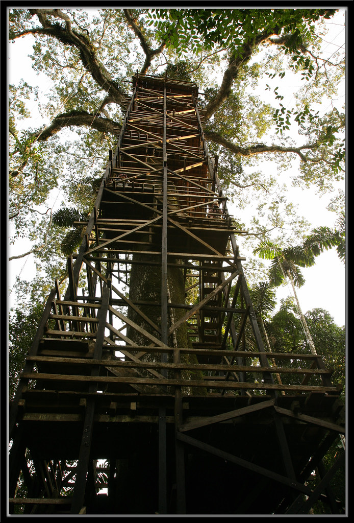 Kapok Tree and Wooden Canopy Tower