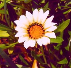 Flower on the Path (Swami Stream) Tags: flowers fab india white macro closeup palms golden bangalore resort casio karnataka banaglore bengaluru karnatka offiste swamistream swamistreamcom