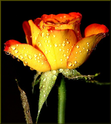 A rose for you